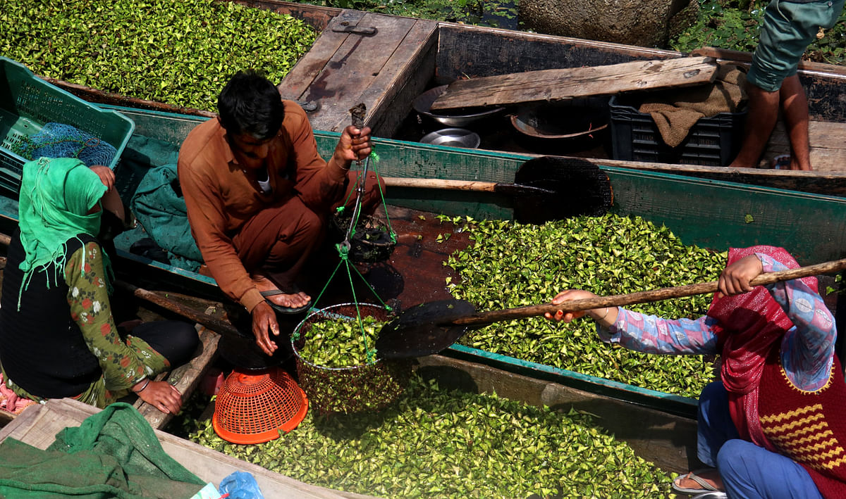 Water chestnuts are sold off to local traders after being extracted from Wular lake in northern Bandipora district.