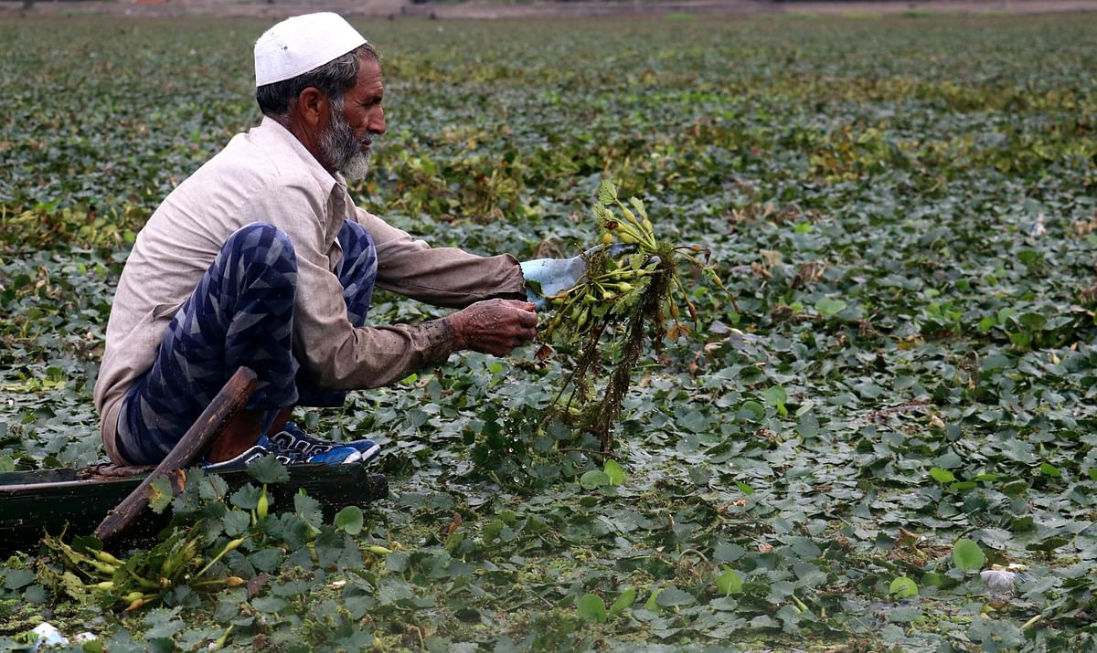 A man extracts water chestnuts from Wular lake in northern Bandipora district.