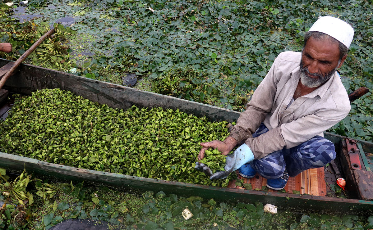 A man picks up a handful of water chestnuts from his boat in Wular lake.