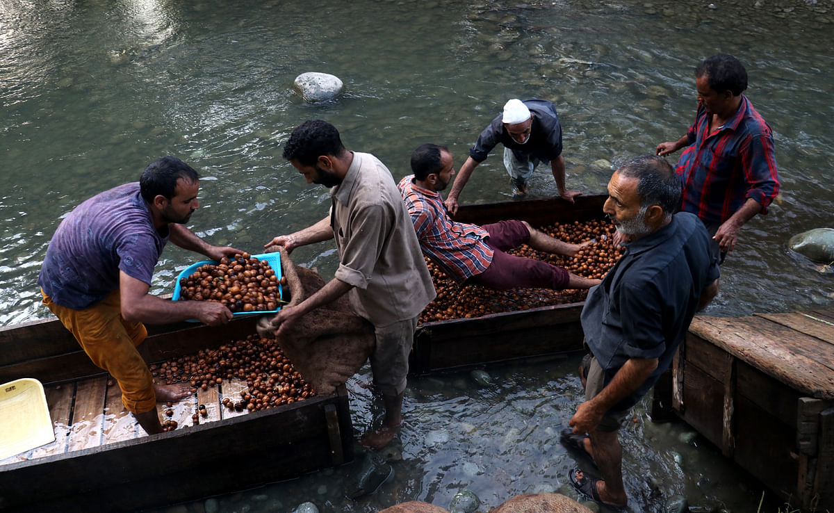 Men clean walnuts in a stream after removing their husk during the harvesting season.
