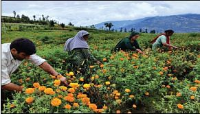 After purple revolution, farmers now reap benefits of marigold cultivation in Bhadarwah