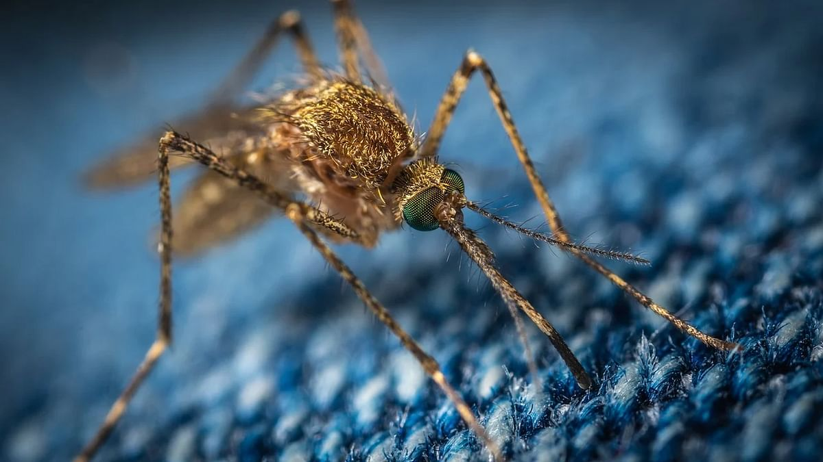 Male mosquitoes don't want your blood, but they still find you very attractive