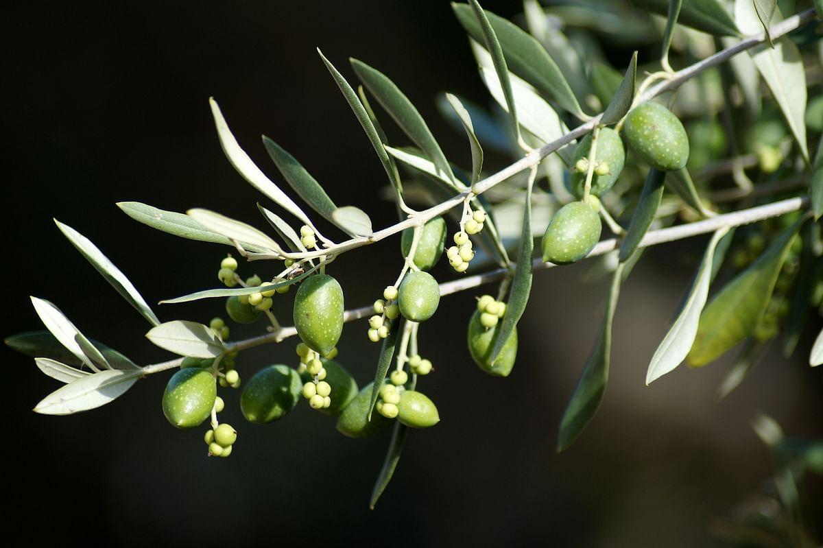 Uri awaits Govt's olive branch