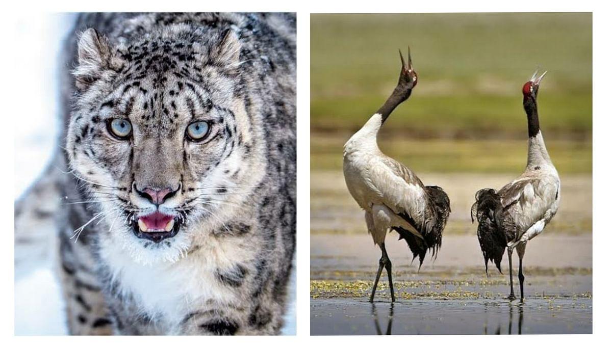 Snow leopard is new 'state animal' of Ladakh UT