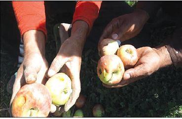 Hailstorm damages apple, standing crops in Kupwara villages