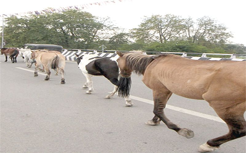 Movement of stray animals on city roads pose risk to commuters
