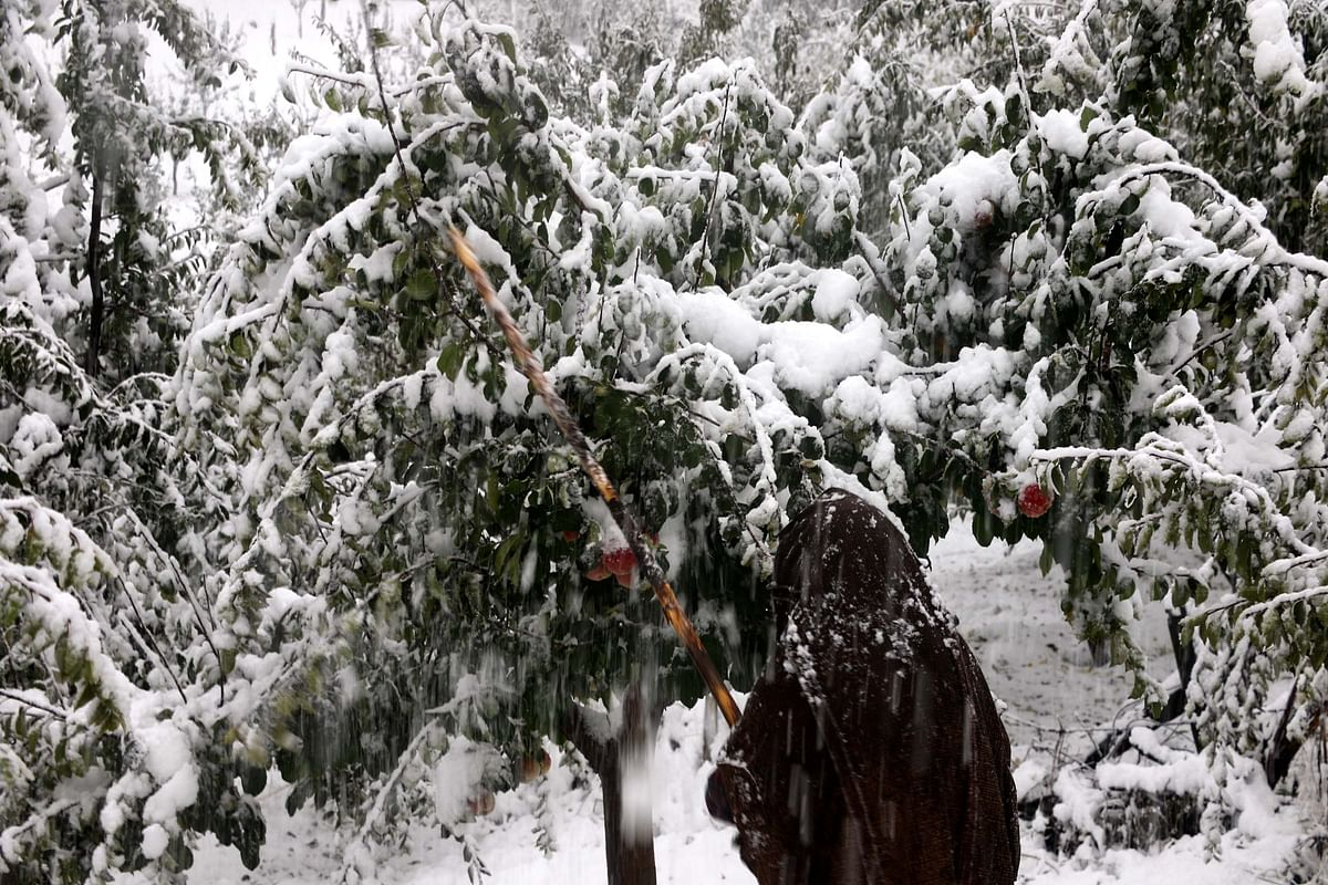 Untimely snowfall spells doom for orchards in Kashmir