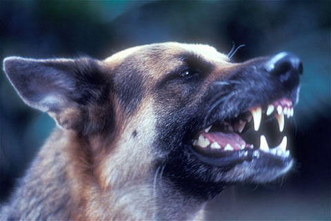 Stray dogs kill 2 infants   in Handwara