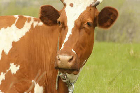 Cow who was issued admit card does not appear for examination