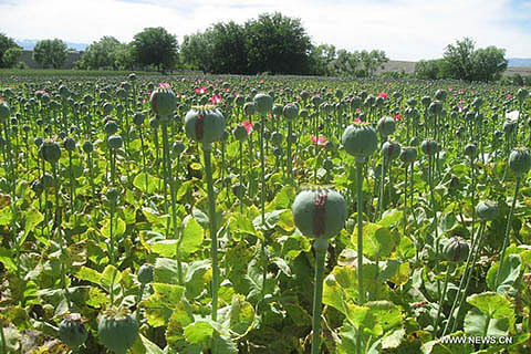 Govt starts drive against poppy cultivation in Kupwara