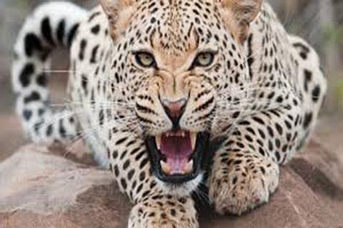 Leopards on prowl in Budhal, Kotranka