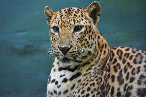 Leopard, two cubs captured alive in south Kashmir's Pulwama