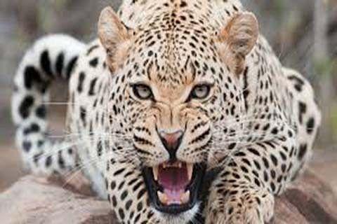 Leopard on prowl at Rangreth| Wildlife deptt in slumber; panic grips inhabitants