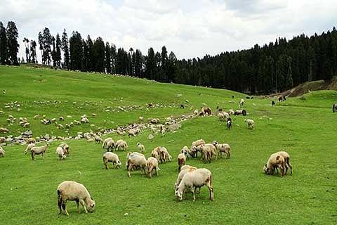 Govt must prioritize Sheep farming in J&K
