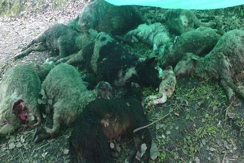 Leopard mauls 12 sheep to death in Kishtwar village