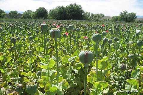 Poppy cultivation destroyed in Katra village