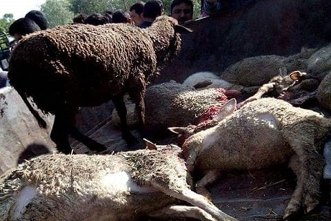 Over a dozen sheep of Bakerwal family mowed down by speeding tipper in south Kashmir's Pulwama