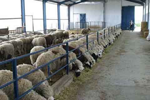 Kashmir sheep importers again in trouble