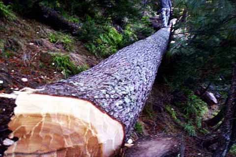 Govt allots timber on 'first come first serve basis': Minister