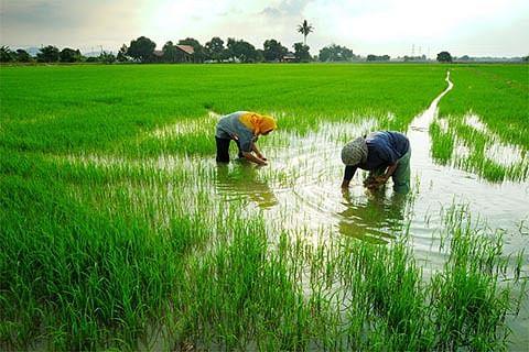 'Vanishing' Basmati fields in JK