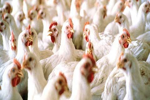 JK imports poultry worth Rs 735 cr