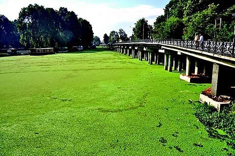 Weeds, Azolla deface lake