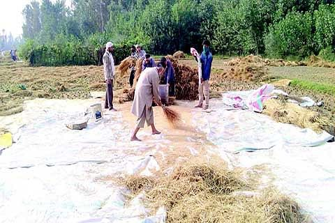 Harvesting Time: Demand for local labourers grows in Kashmir hinterland