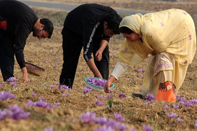 Family Farming in Saffron economy