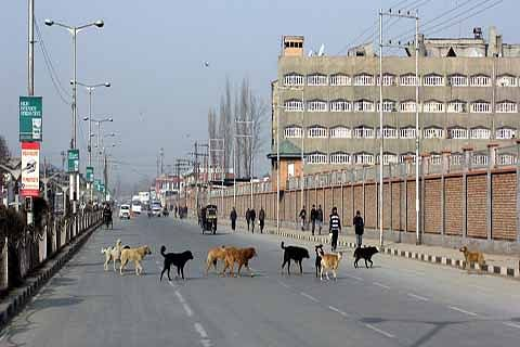 Stray dogs on prowl in Lal Chowk
