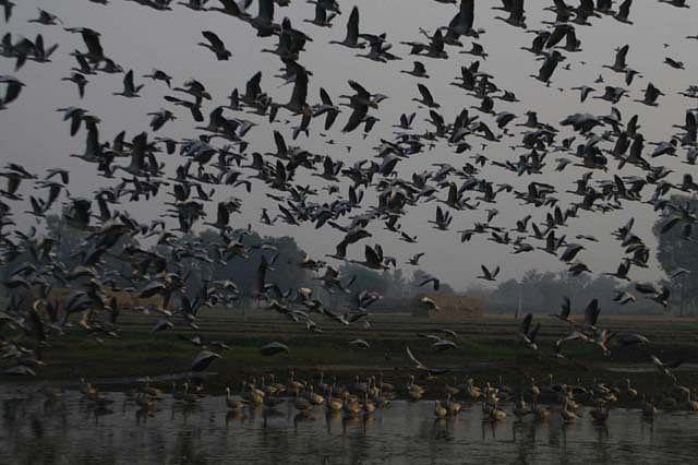 Migratory Birds Arrive in Gharana Wetland In Jammu
