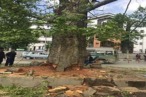 'Authorities didn't explore alternatives to save Chinars'