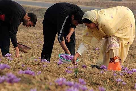 Saffron production in Kashmir