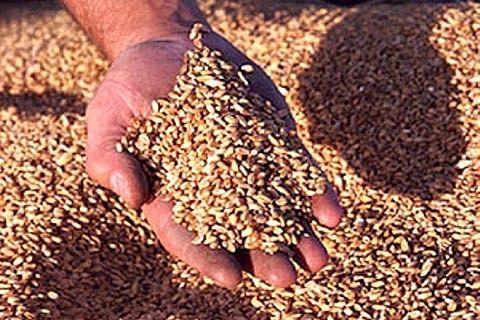Quest for wheat seed gets tough in Rajouri