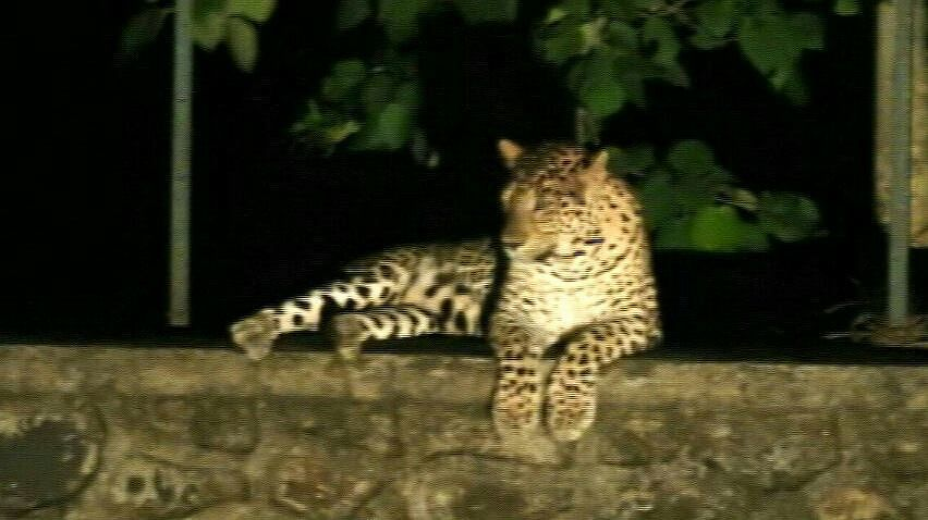 Leopard mauls boy; another slips to death in Budgam