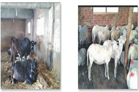 FOOT AND MOUTH DISEASE OUTBREAK : 'Substandard vaccination causing bovine deaths in Kashmir'