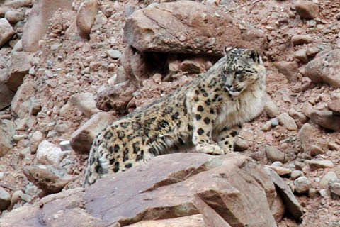In a first, J&K Govt maps habitat of critically-endangered snow leopard