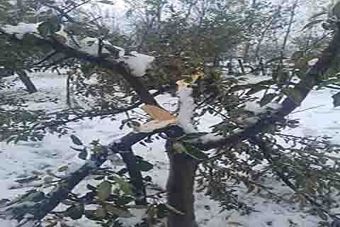 25-40% orchards damaged in southern districts: officials