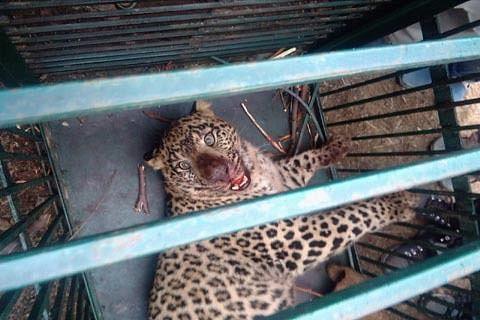 Wildlife officials capture leopard in Doda
