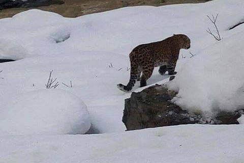 2 snow leopards captured in Kargil