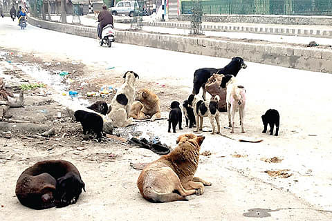 What action have you taken to check stray dog menace in Srinagar? HC asks SMC