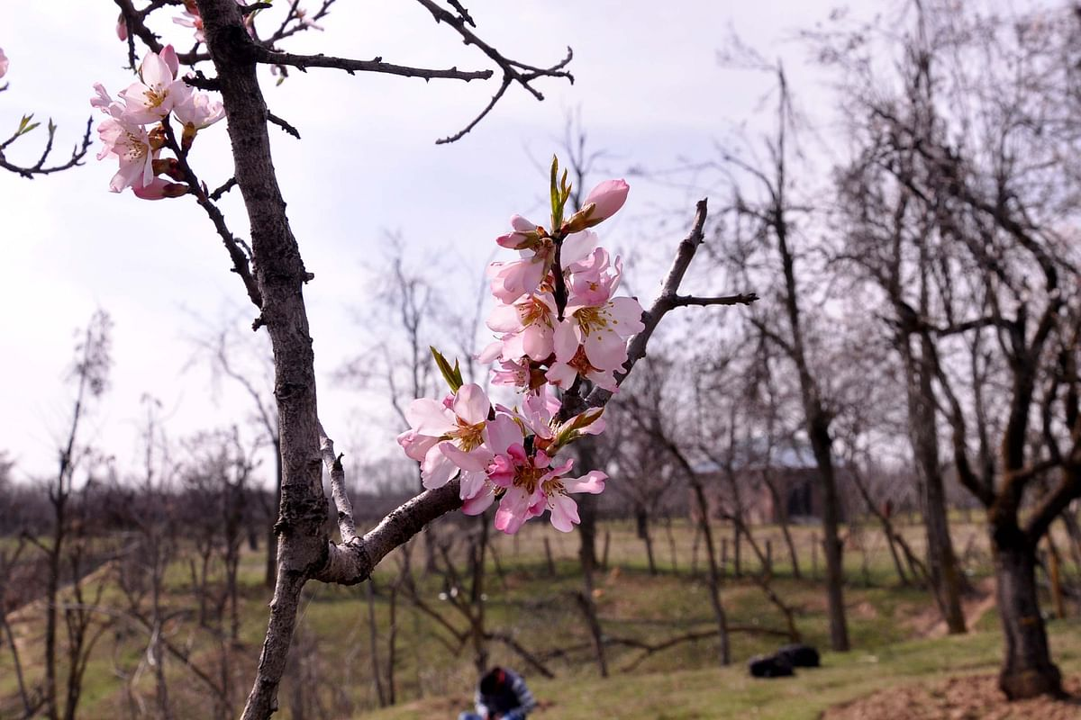 Spring in Kashmir oscillates between snow and bloom