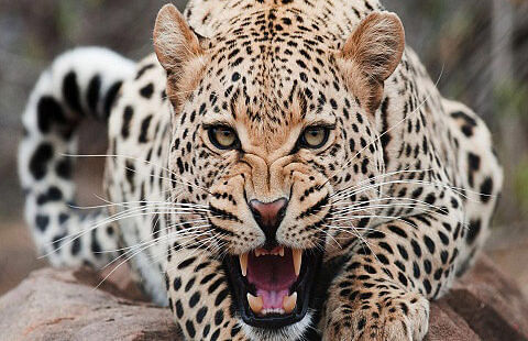 Duo injured in leopard attack in south Kashmir's Kulgam