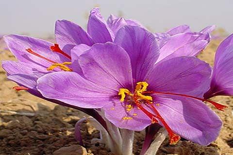 Saffron cultivation under greenhouse conditions