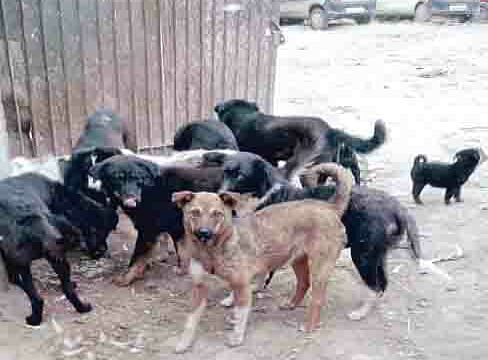 Stray dogs injure ten children in north Kashmir's Kupwara; 5 hospitalized