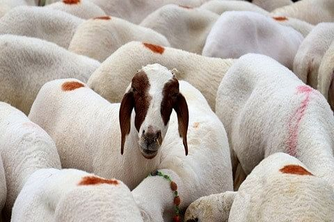 Govt proposes 10-15% rate revision for sacrificial animals
