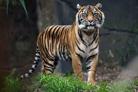 Tiger population improves to 2,967 in 2018: PM Modi