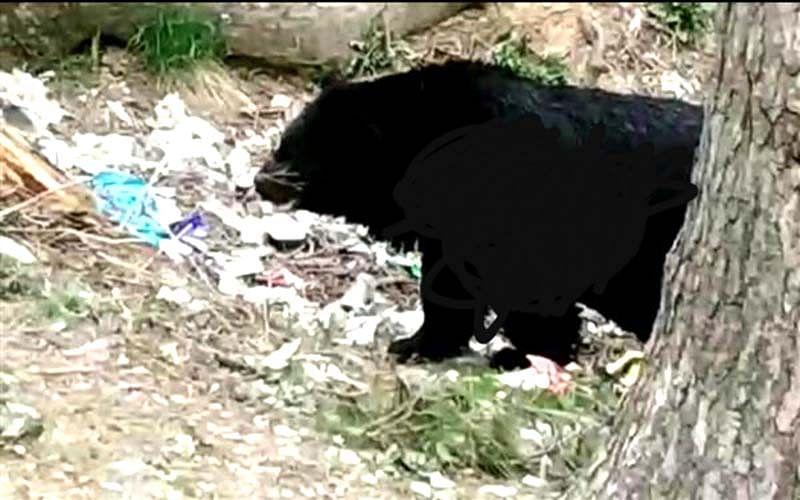 Bear strays into residential area in north Kashmir's Kupwara, captured