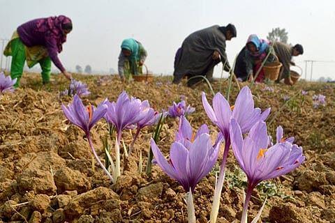 Kashmir Saffron acquires GI