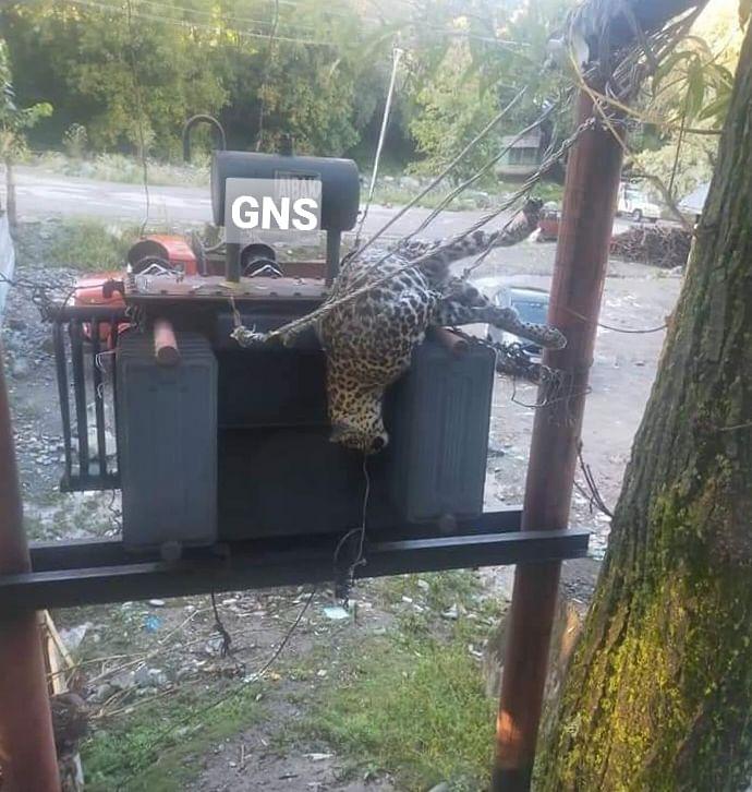 Leopard electrocuted in north Kashmir's Kupwara
