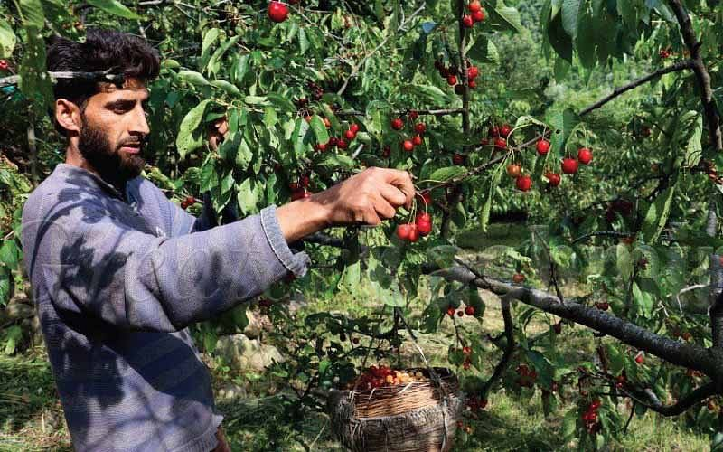 MIS gets cold response from Apple growers